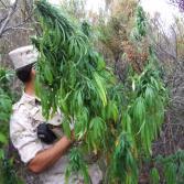 Reconocimiento, hallazgo y  destrucción de plantíos de marihuana