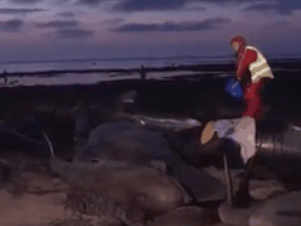 Veinte calderones mueren tras quedar varados en una playa de Islandia