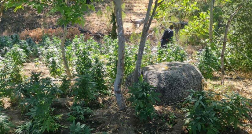 Erradica al Fiscalía General del Estado plantío con más de 7 mil plantas de marihuana