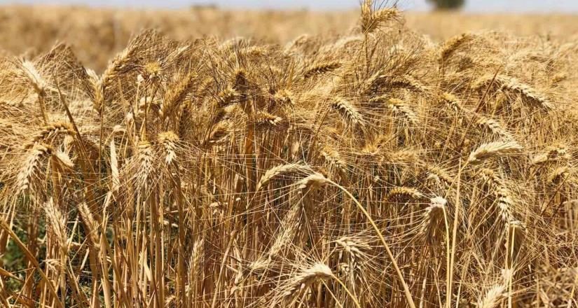 Programa Financiero logró reactivar a productores de trigo y algodón