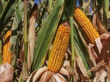 Por iniciar cosecha de maíz amarillo en el valle de Mexicali