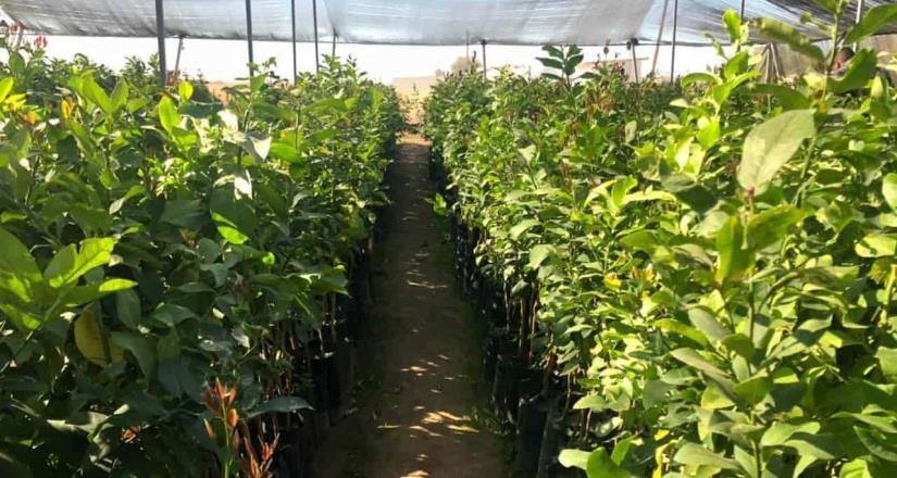Secretaría del Campo produce árboles frutales y endémicos en Baja California