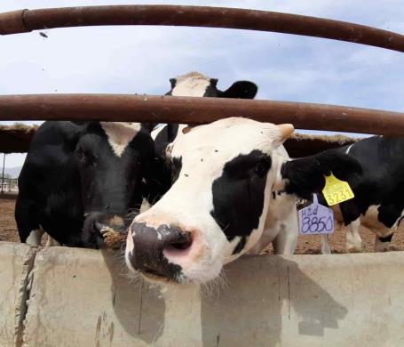"""Invita secretaría del campo a plática """"Inseminación artificial para productores de ganado bovino"""""""