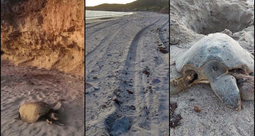 Denuncian que juniors y funcionarios atropellan tortugas en Sonora
